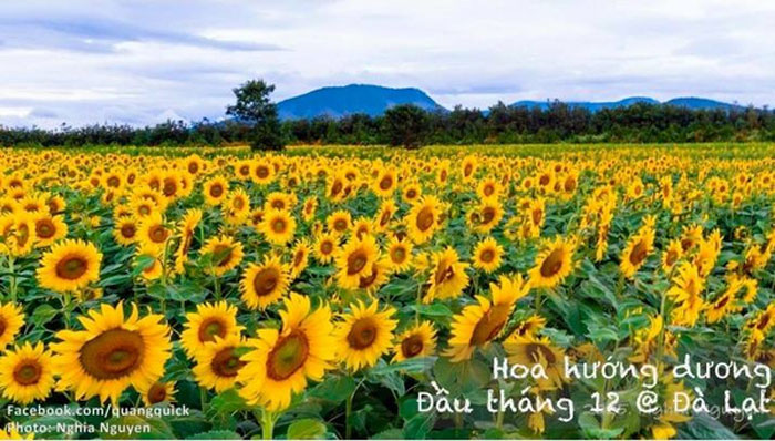 Hoa hướng dương - Đà Lạt
