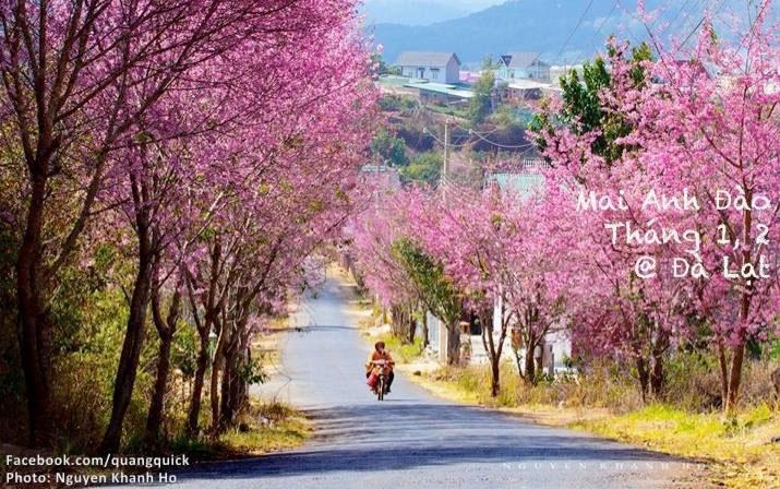 mai anh đào đang mùa nở rộ ở các khu vực Hồ Xuân Hương, Trần Hưng Đạo, đặc biệt con đường dốc Đa Quý