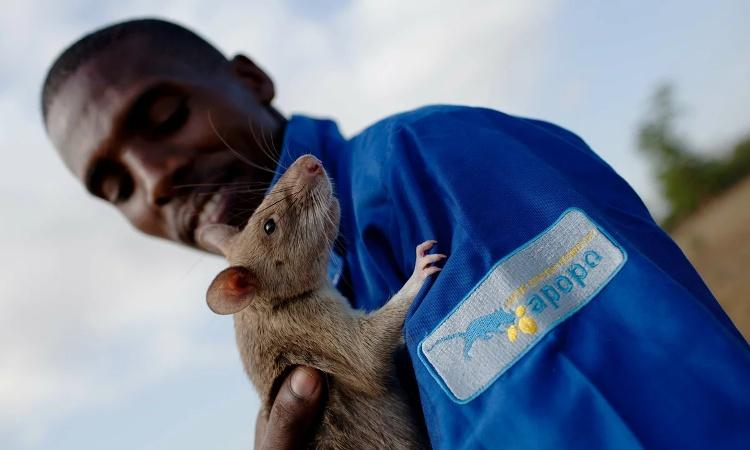 Một con chuột khổng lồ châu Phi còn non được nhân viên tổ chức APOPO ôm sau khi hoàn thành bài huấn luyện ở Morogoro, Tanzania.