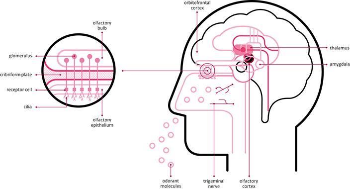 Khứu giác và trí nhớ