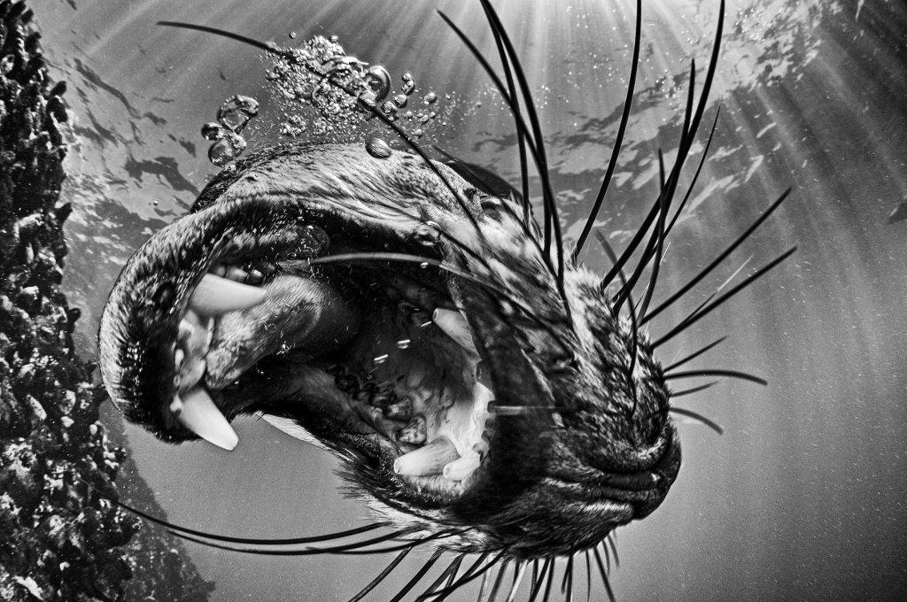 Còn đây là khoảnh khắc hải cẩu vồ mồi. Nhìn bộ nhá này thì có lẽ nhiều người chẳng còn muốn thần tượng gì loài thú dễ thương này nữa.