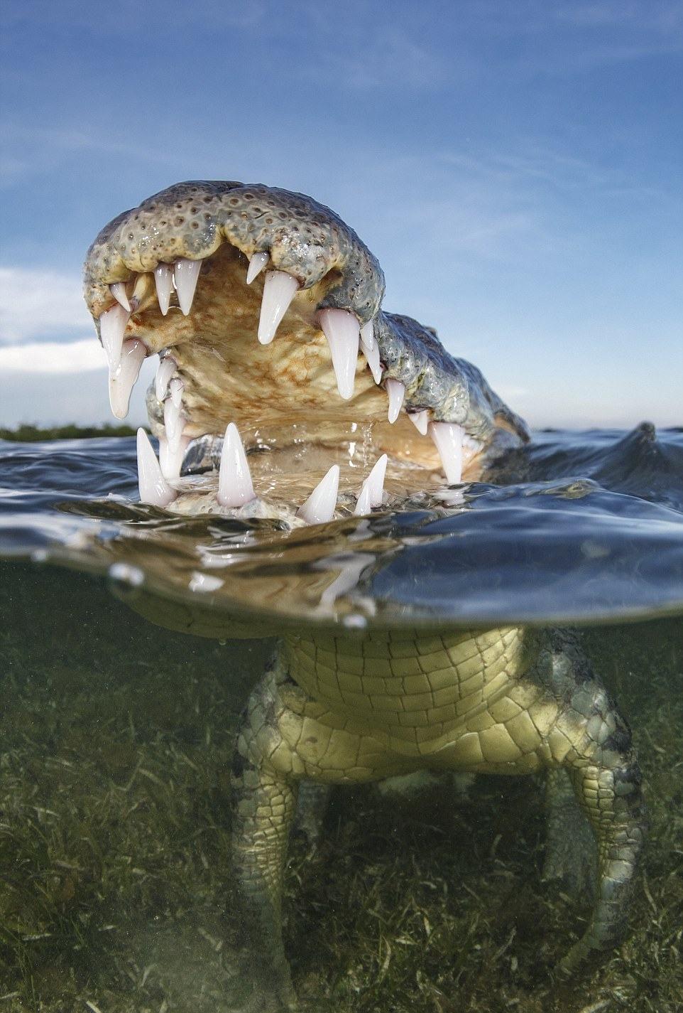 Lại thêm một bức hình của Terry Steeley. Dường như nhiếp ảnh gia này có một lá gan khá to khi liên tục giơ máy ảnh tận mồm các loài cá dữ tợn - như con cá sấu châu Mỹ này.