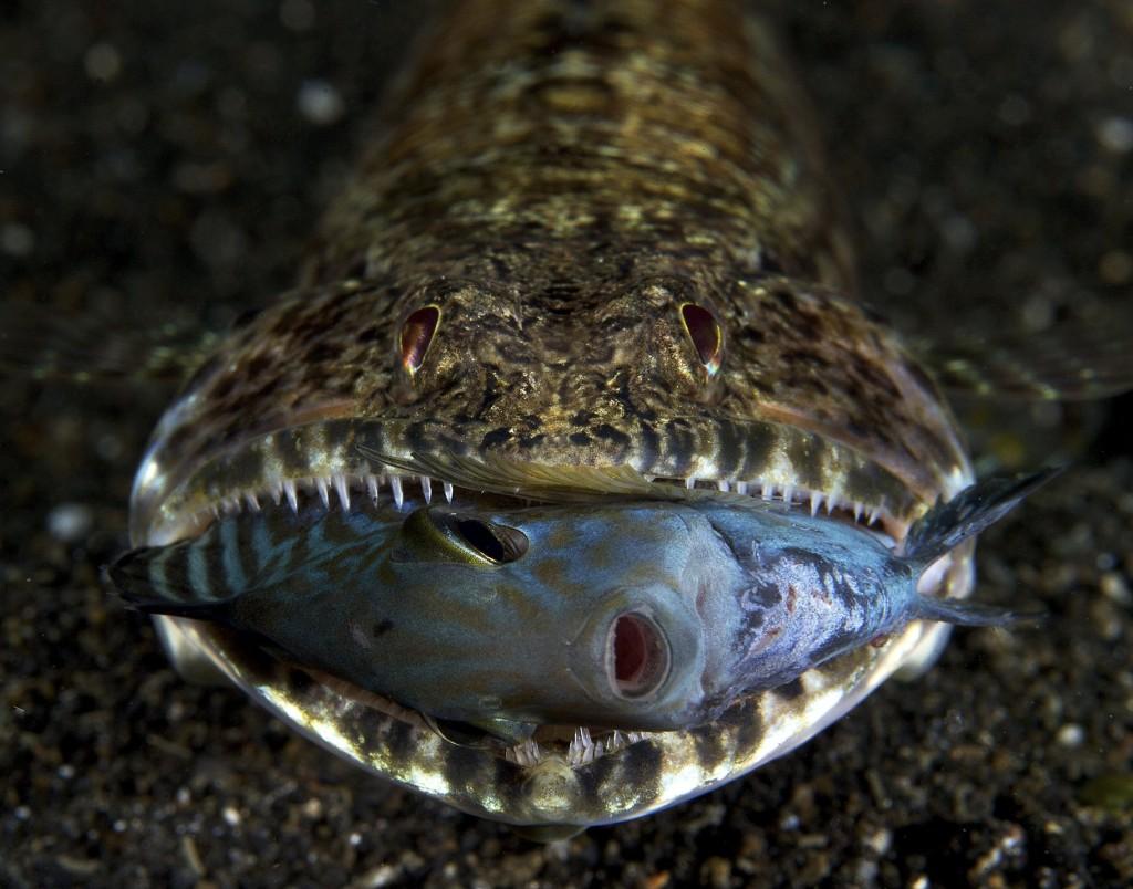Sinh vật đang nuốt mồi này có tên là cá tắc kè - lizard fish, còn nạn nhân xấu số của nó là loài cá Indonesia - Juvenile Acanthuridae. Bức ảnh được chụp bởi nhiếp ảnh gia người Anh Luke Gordon.