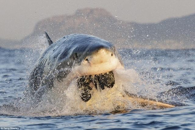 """Bức ảnh mang tên """"Nhai ngấu nghiến"""" - Chomp. Con cá mập trắng - loài cá mập lớn nhất thế giới đang nhai một sinh vật không rõ lai lịch."""