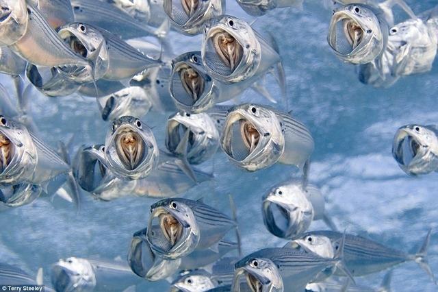 Loài cá bạc má Indian Mackerel vốn là một sinh vật không đẹp đẽ gì cho cam, nhưng qua ống kính kỳ diệu của Steeley đã trở nên tuyệt đẹp và sống động. Đây cũng chính là bức ảnh đem lại chức quán quân ảnh chụp dưới nước cho Steeley.