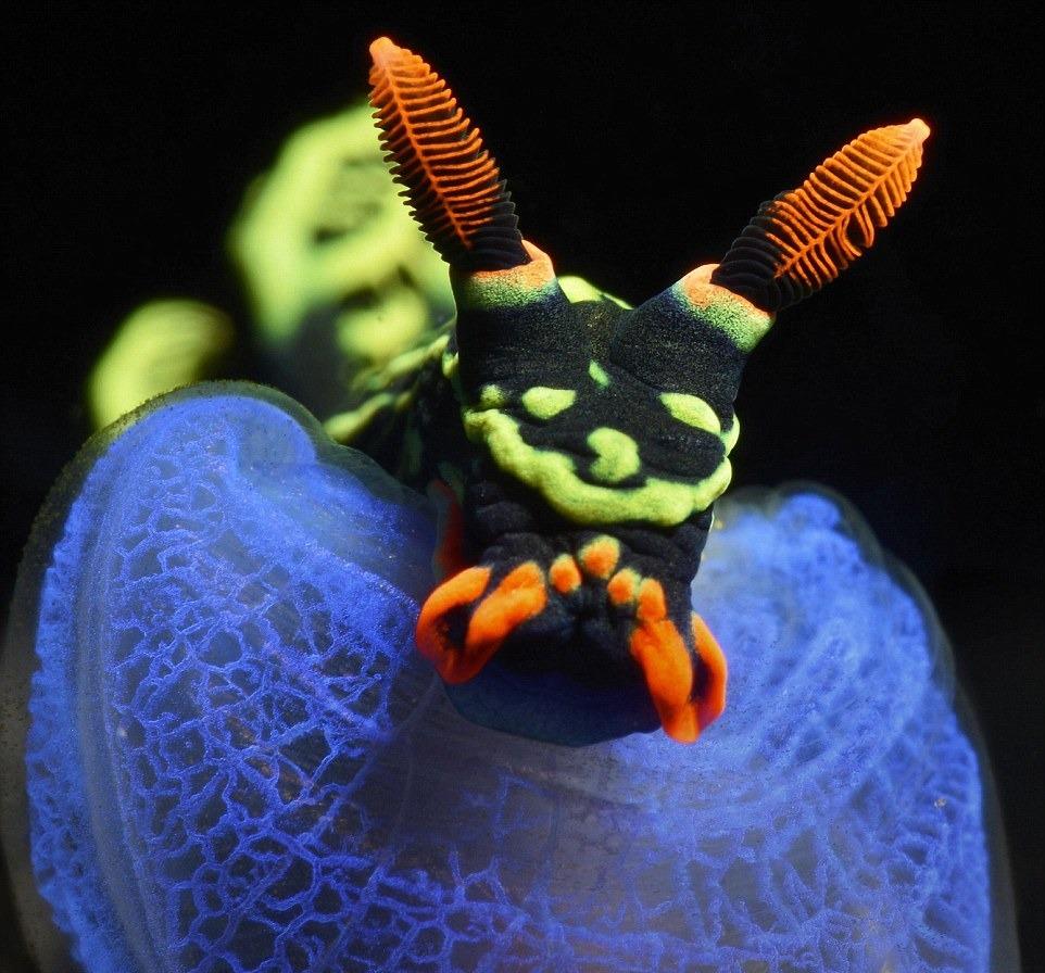 Sinh vật kỳ lạ này mang tên Nudibranchia - một loài động vật thân mềm có họ với sên biển. Nudibranchia có cơ thể nhiều màu sắc, và thường tận dụng điều này để ngụy trang, gây nhầm lẫn cho kẻ thù. Bức ảnh được chụp ngoài khơi Indonesia.