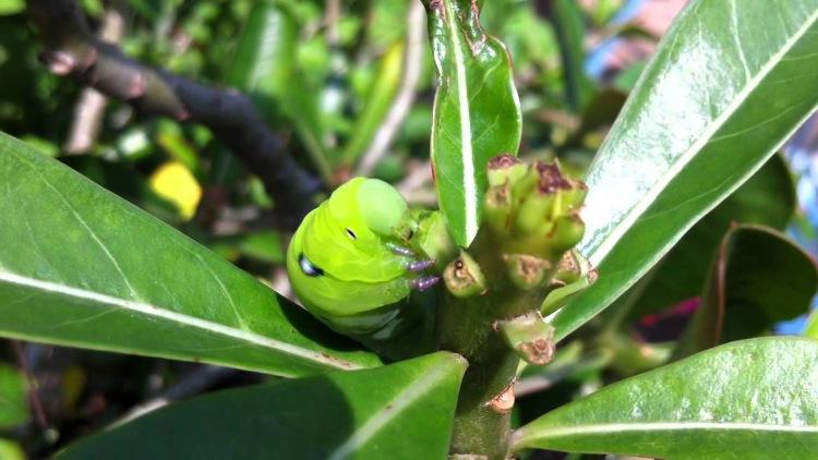 Sâu xanh cắn phá và ăn hết những đọt lá non tạo thành.