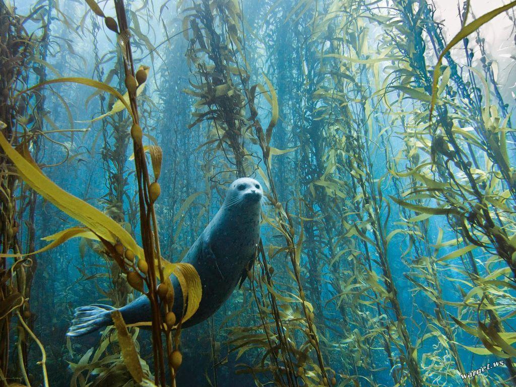 Bức ảnh tuyệt đẹp về một chú chó biển ở Cortes Bank gần San Diego, Califonia đang thám hiểm rừng tảo dưới đáy biển.