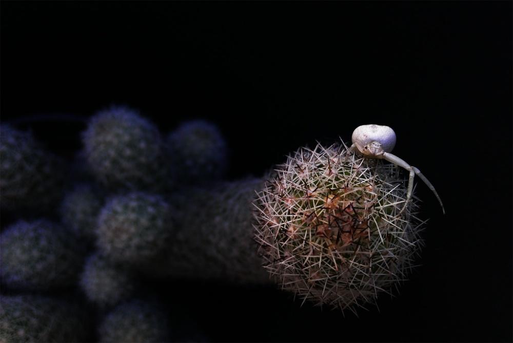 Một con nhện bạch tạng trên cây xương rồng.