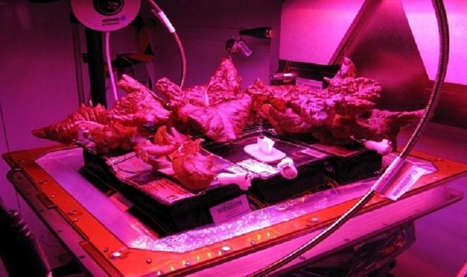 Các nhà khoa học hy vọng loại bắp cải Toyko Bekana sẽ phát triển ở điều kiện môi trường không trọng lực trên ISS.