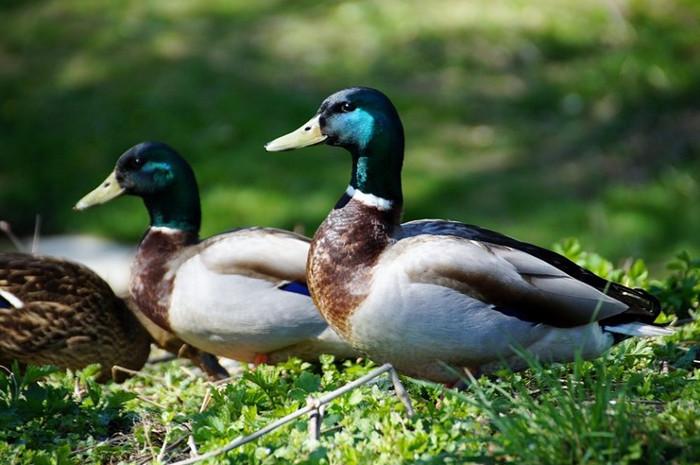 Con đực và con cái rất dễ phân biệt nhau thông qua màu của bộ lông.