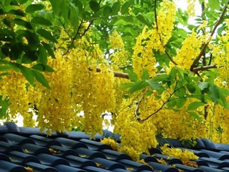 Cả lá, hoa, quả của cây muồng hoàng yến đều có thể gây ngộ độc nếu ăn phải.