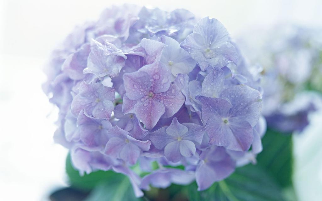 Trong lịch sử, nữ hoàng Cleopatra đã từng ép người hầu tự tử bằng loài hoa này.