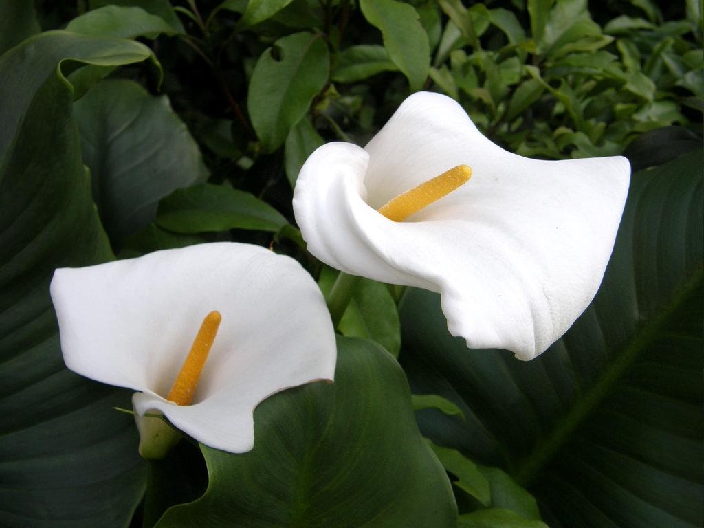 Loại hoa được rất nhiều cô dâu ưa chuộng này có chứa nhiều chất độc calcium oxalate.