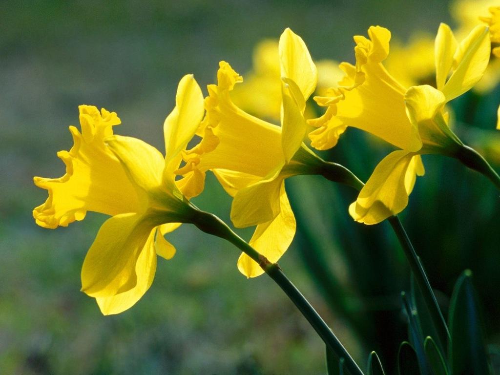 Nếu ăn nhầm hoa thủy tiên, bạn có thể bị phát ban đỏ hoặc lở loét trên da.