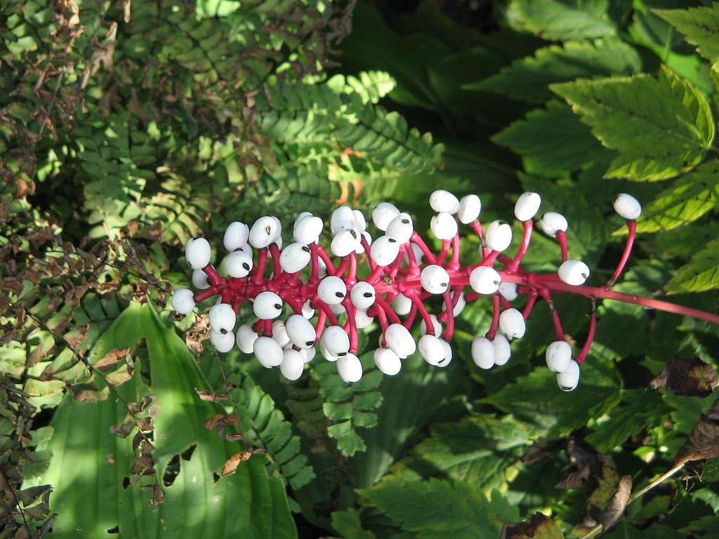 Chất độc có trong những quả baneberry có thể khiến tim ngừng đập ngay tức khắc.