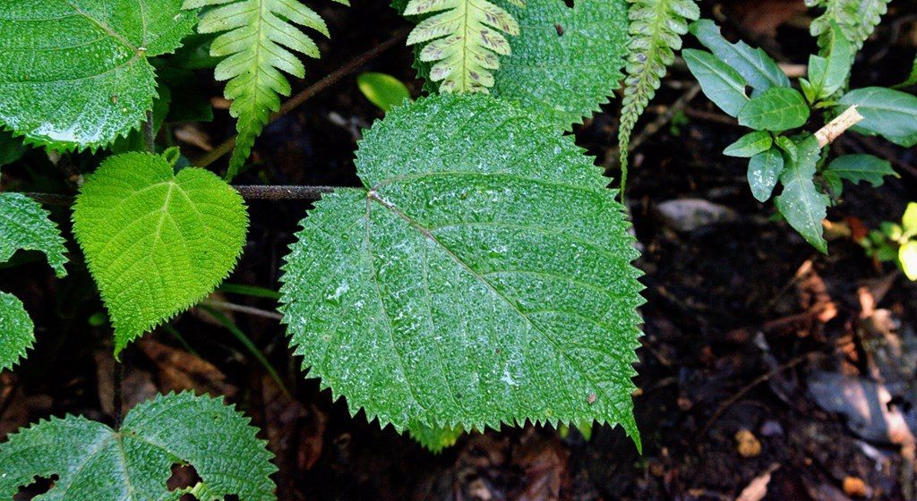 Những chiếc lông trên lá của cây lá ban chứa hàm lượng độc tố rất cao.
