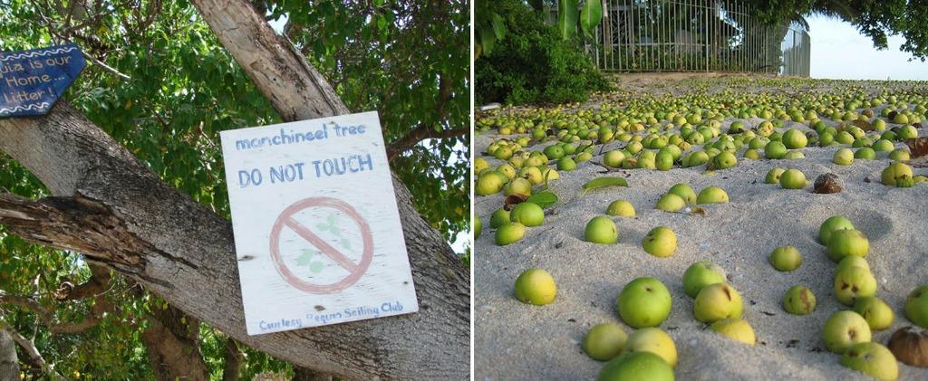 Nhựa của cây táo này cực kỳ nguy hiểm, nếu bị dính vào người thì cái chết là điều không thể tránh khỏi.