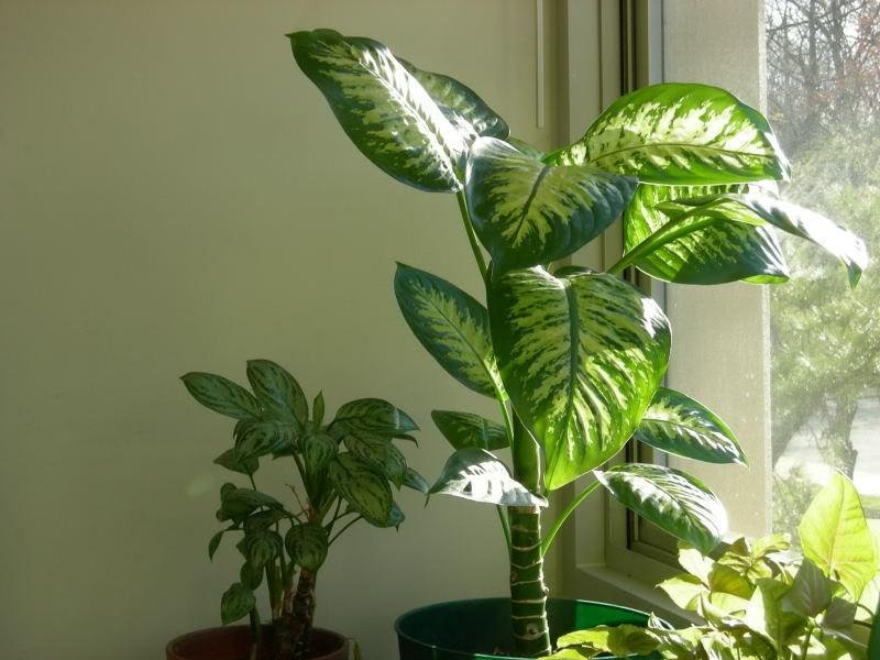 Nhựa của cây vạn niên thanh có thể gây dị ứng da, bỏng, nghẹn và khó thở.