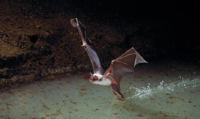 Loài dơi Noctilio leporinus phát ra tiếng kêu ở 140 dB khi săn mồi trên các hồ tại Panama.