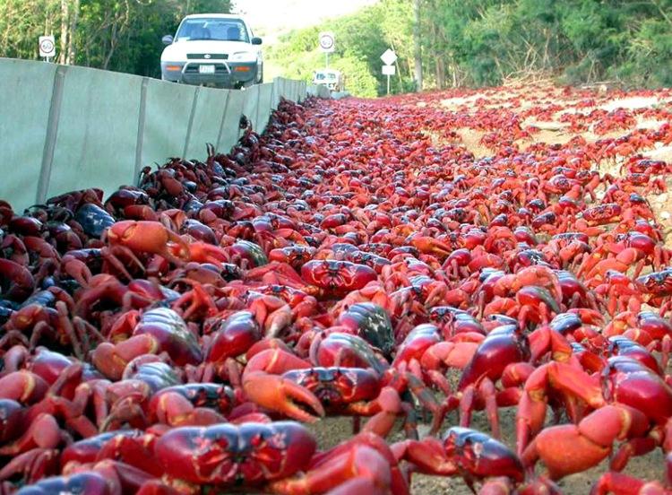Cuộc di cư của cua màu đỏ ở Úc.