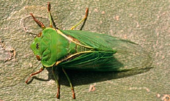 Ve sầu giữ danh hiệu loài côn trùng ồn ào nhất thế giới.