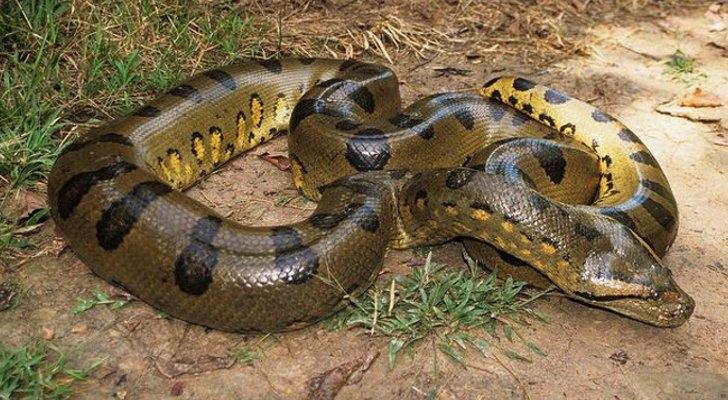 Trăn Anaconda là loài rắn lớn nhất thế giới.