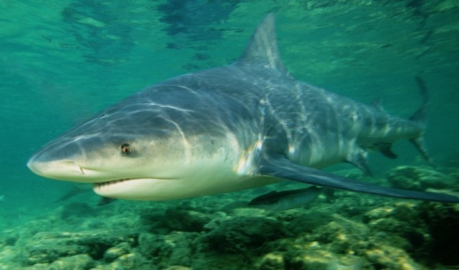 Cá mập bò là một trong những loài cá mập nguy hiểm nhất thế giới.