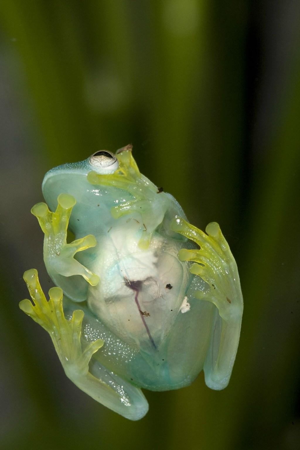 Với lớp da trong suốt nên bạn có thể nhìn thấy cơ quan nội tạng của loài ếch thủy tinh.