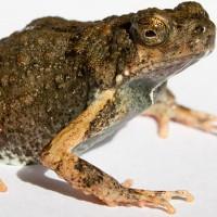 """""""Dịch bôi trơn"""" của loài ếch có thể chữa lành vết thương"""