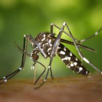 Phát hiện loài muỗi thứ hai mang virus Zika