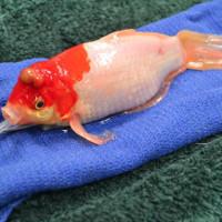 Cá vàng sống sót nhờ phẫu thuật cắt bỏ khối u đầu
