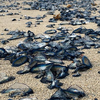 """Bờ biển Mỹ """"nhuộm"""" xanh vì xuất hiện hàng ngàn con sứa"""