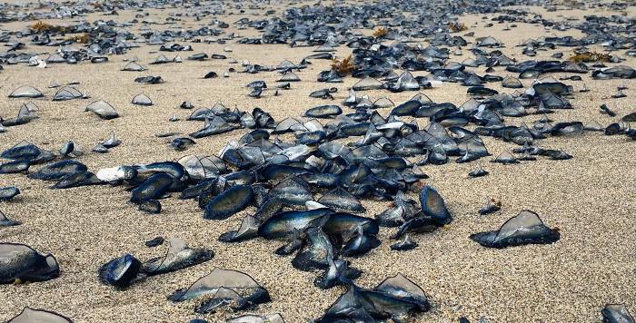 Hiện tượng lạ hàng ngàn con sứa dạt vào bờ khiến người dân địa phương vô cùng lo sợ.