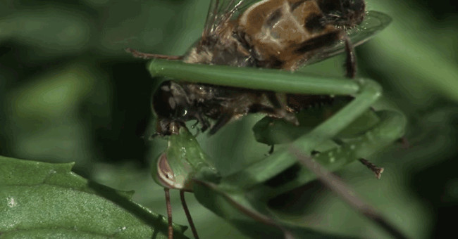 Bạn nghĩ chúng đang hôn nhau ư? Không hề, một chút nữa thôi là con bọ ngựa cắn nát đầu con mồi của nó.