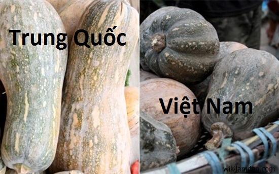 Bí đỏ Việt Nam có vỏ ngoài sần sùi, hình dáng méo mó.