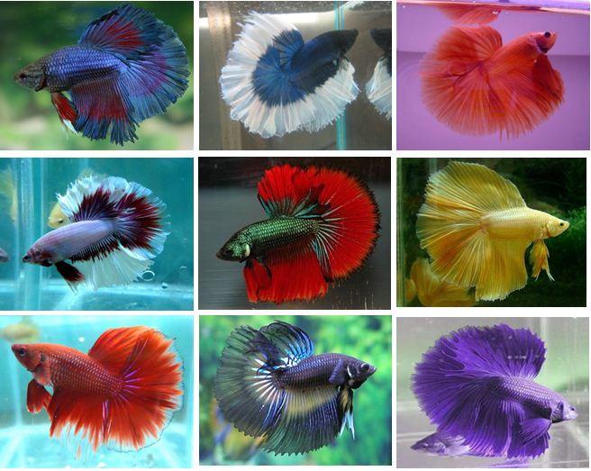 Cá xiêm được lai tạo lên đến hàng ngàn loài khác nhau với đủ kiểu màu sắc.