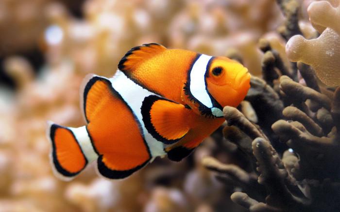 Cá Hề thuộc nhóm cá lưỡng tính với giới tính đực có trước