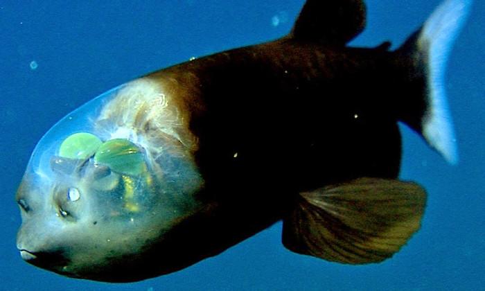 Cá mắt thùng có cái đầu trong suốt, mắt là hai khối cầu hình ống màu xanh lục nằm trên đỉnh đầu.