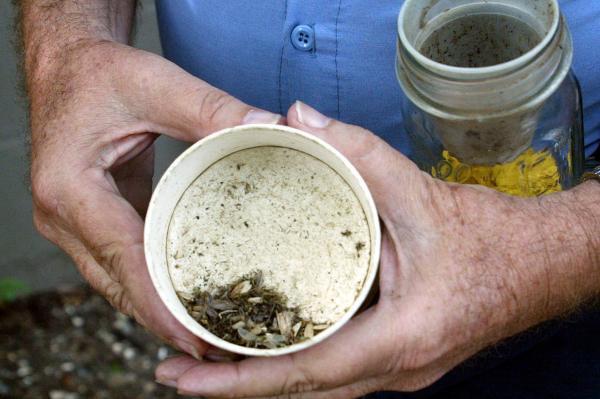 Cốc bắt muỗi giải phóng hóa chất diệt ấu trùng khi đổ đầy nước.