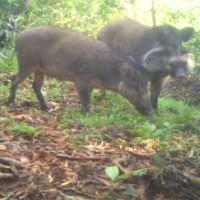 Video: Loài lợn xấu và hiếm nhất hành tinh