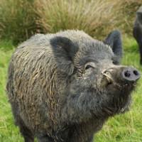 Fukushima tràn ngập lợn rừng đột biến phóng xạ