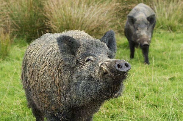 Những con lợn rừng đột biến đang làm cho cuộc sống của cư dân Nhật Bản khốn đốn.