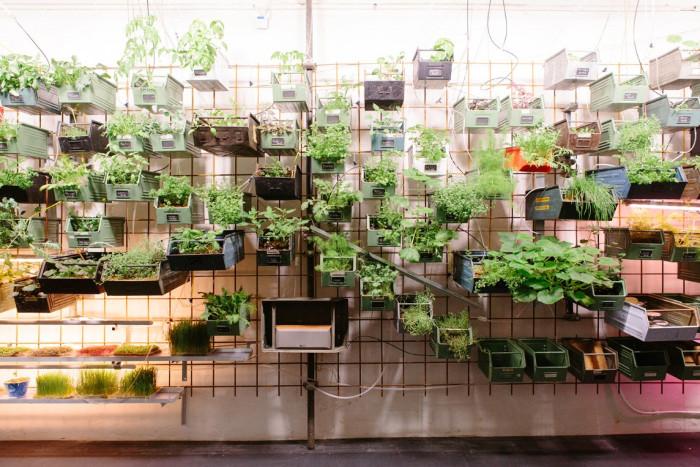 Phương pháp trồng rau trên giàn được áp dụng nhiều tại các đô thị lớn, nơi diện tích đất nông nghiệp gần như không tồn tại.