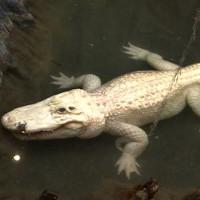 Cá sấu bạch tạng ở vườn thú Mỹ chuẩn bị nghỉ hưu