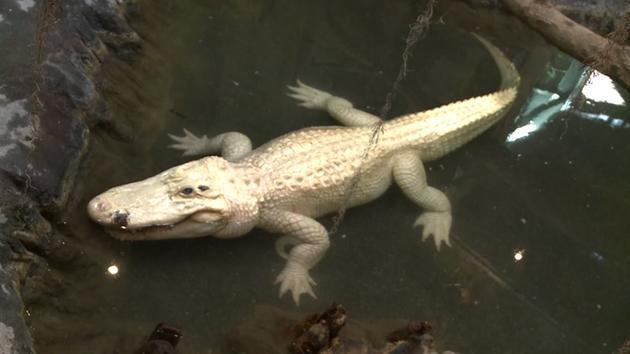 Cá sấu Blanco.