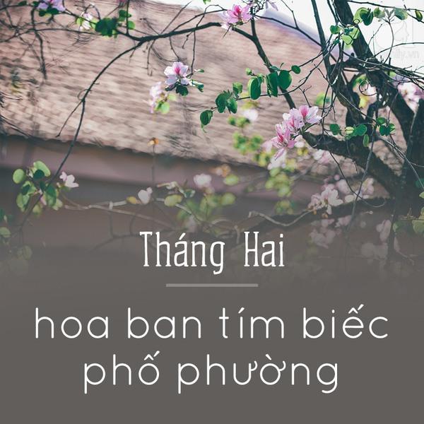 Tháng hai - Hoa ban tím biếc phố phường