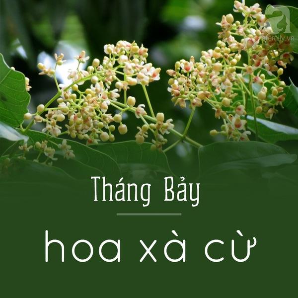 Tháng bảy - Hoa xà cừ