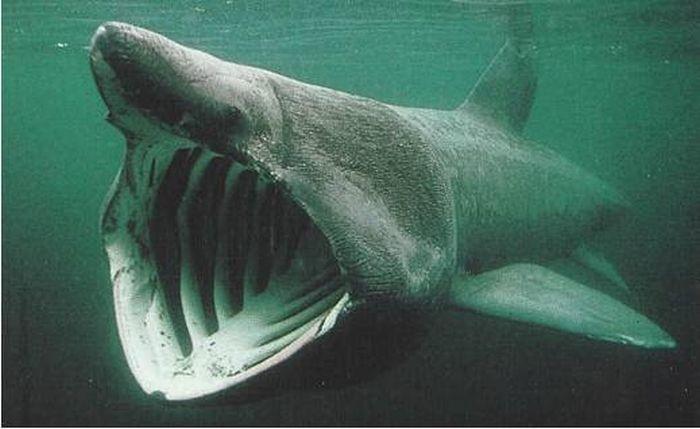 Cá mập giỏ (The Basking Shark)