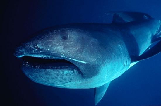 Cá mập miệng rộng (Megamouth Shark)